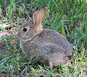 rabbit. Photo by Larry D. Moore; Creative Commons license from Wikimedia Commons